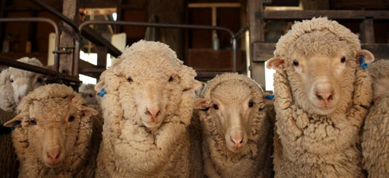 Spring Shearing Takes Place In Australia
