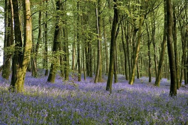 Clogreannane Wood and Bluebells