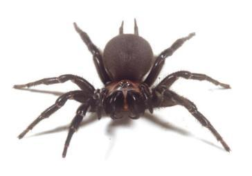 katipo spiders #10