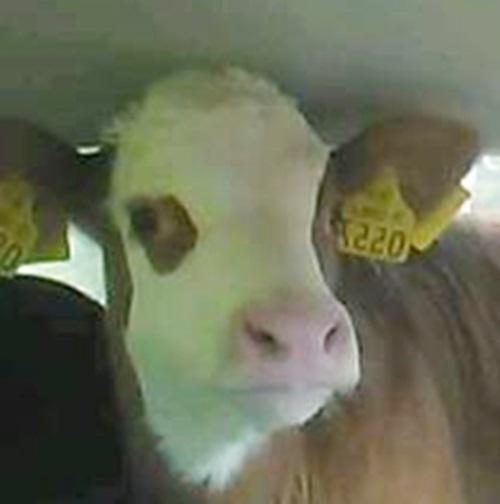 Calf in car 2