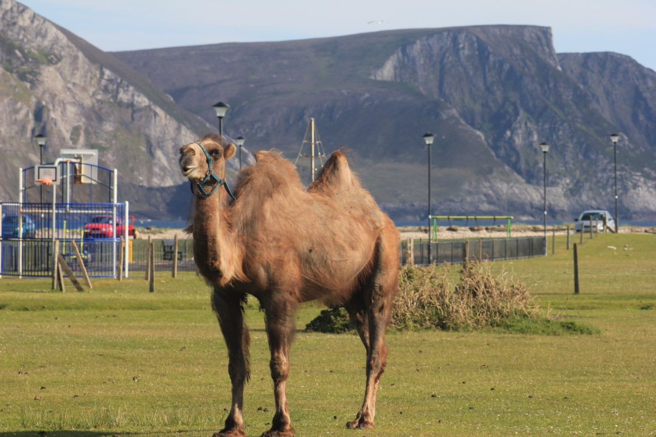 camelmayo