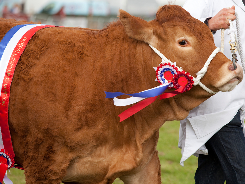 A champion Limousin Cow at an agricultural show, with rosettes and sash