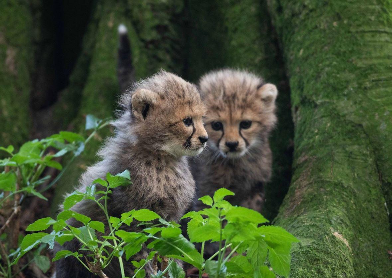 Cheetahs Fota